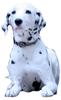 ダルメシアン 子犬